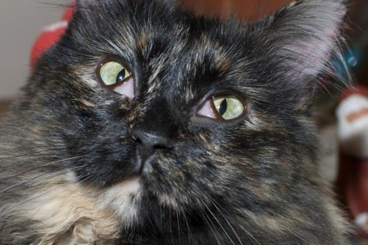 gatto-con-terza-palpebra