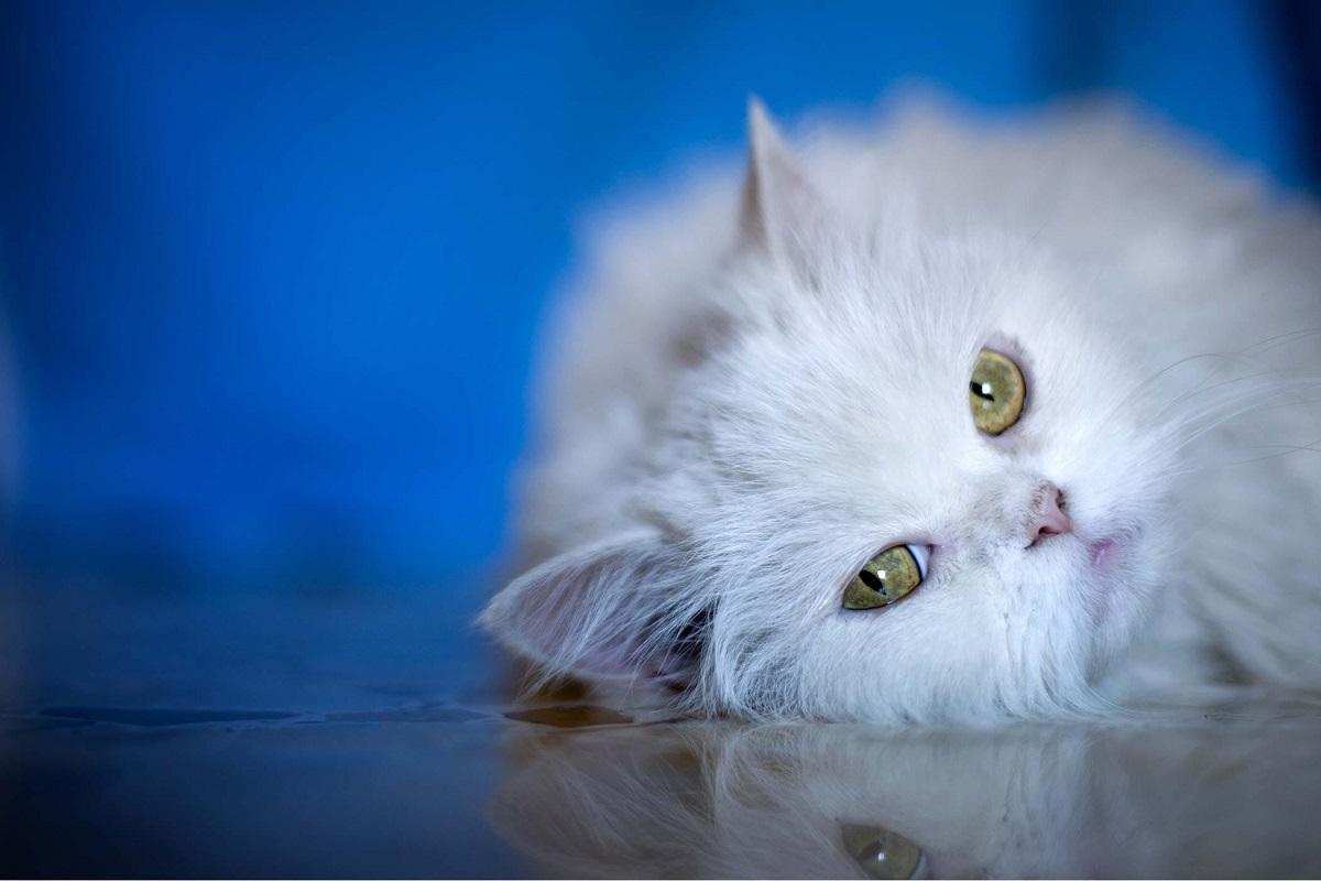 gatto bianco su sfondo blu