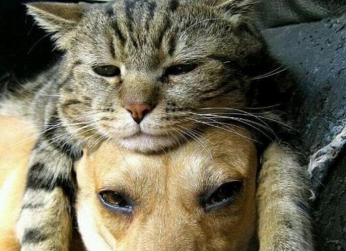 gatta-sopra-a-cane