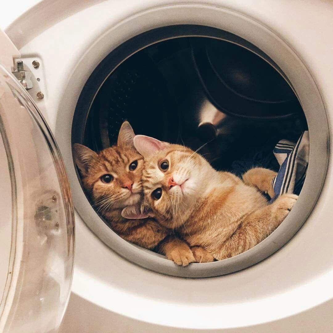 gatti-nella-lavatrice