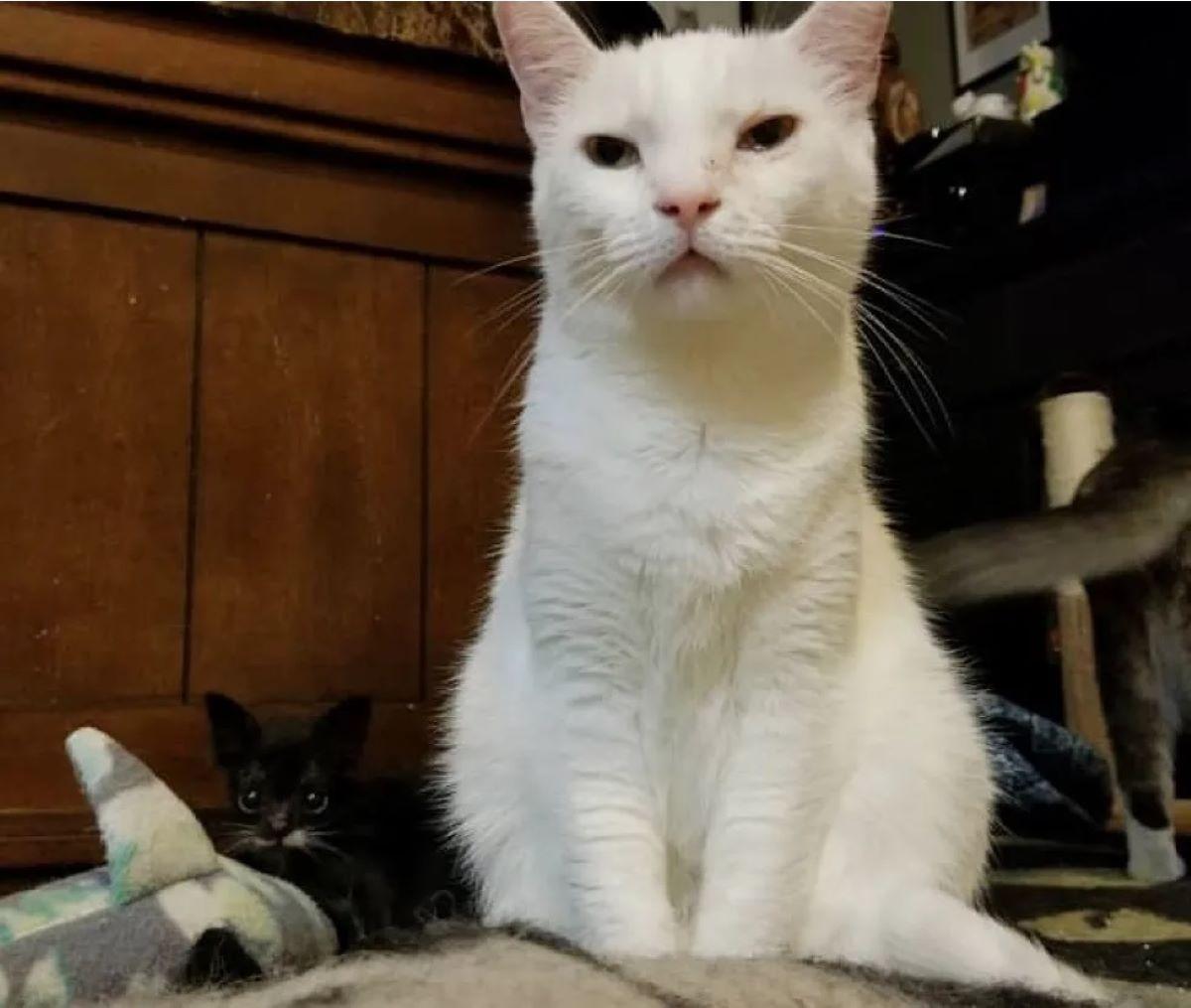 gattino-vicino-gatto-adulto