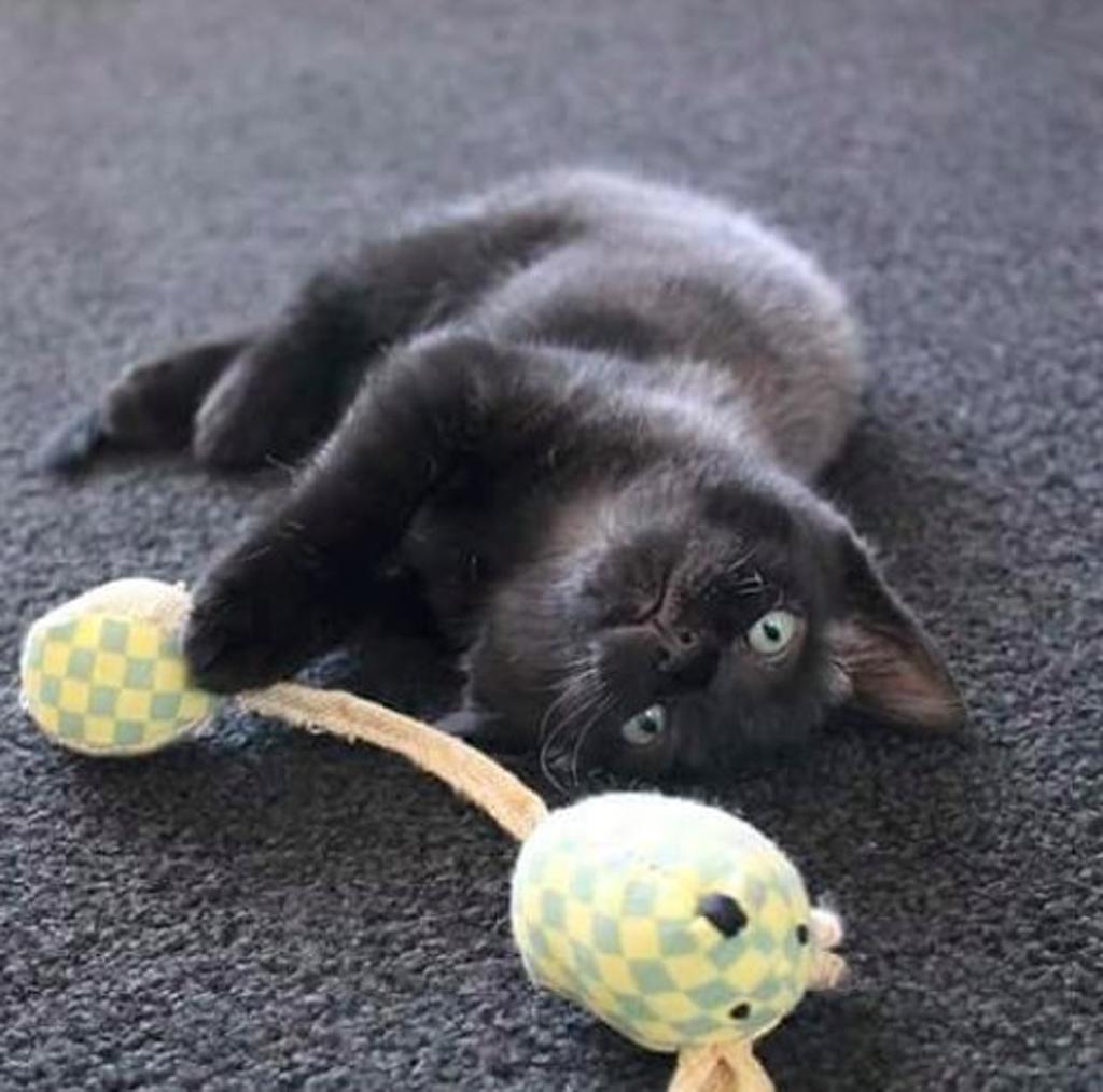 gattino-salvato-ora-vive-in-casa