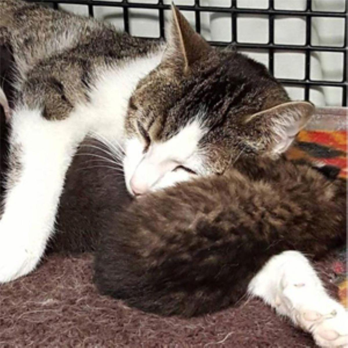 mamma-gatto-con-lince