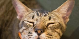 gatto-cieco