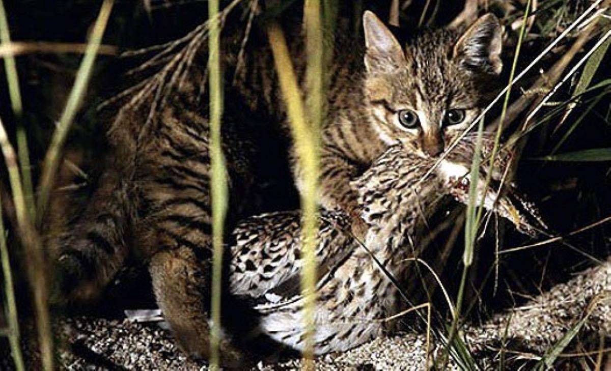 gatto-cinese-con-preda