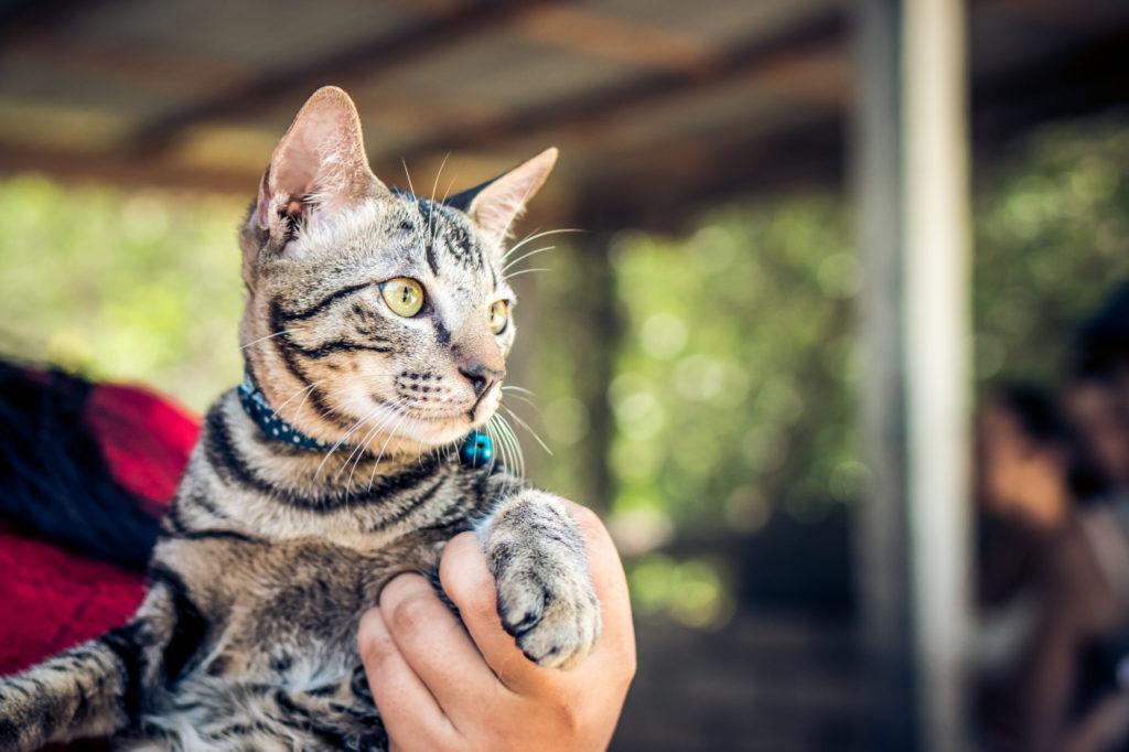 gatto-con-collare