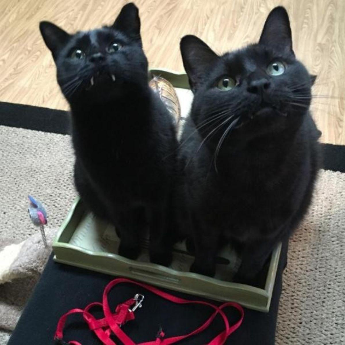 gatti-neri-nella-scatola