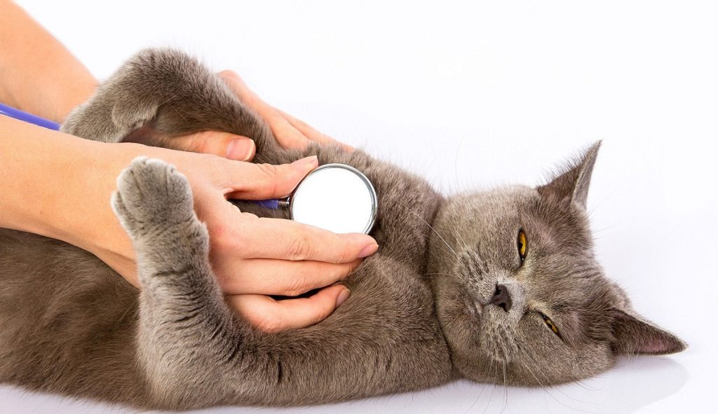 un gatto con respiro affannoso