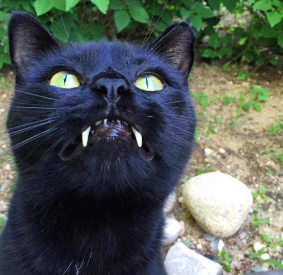 gatto-con-denti-lunghi