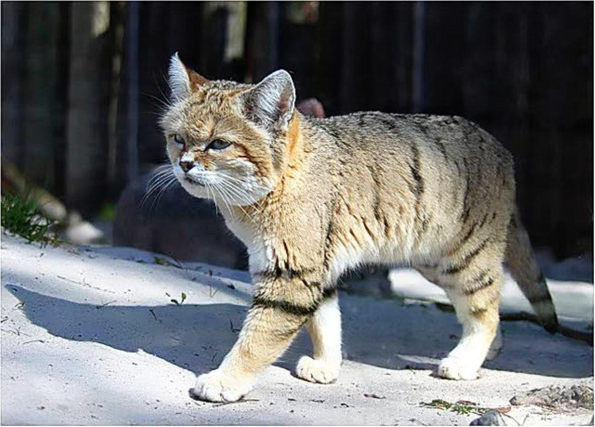 gatto-di-biet-che-cammina-sulla-neve