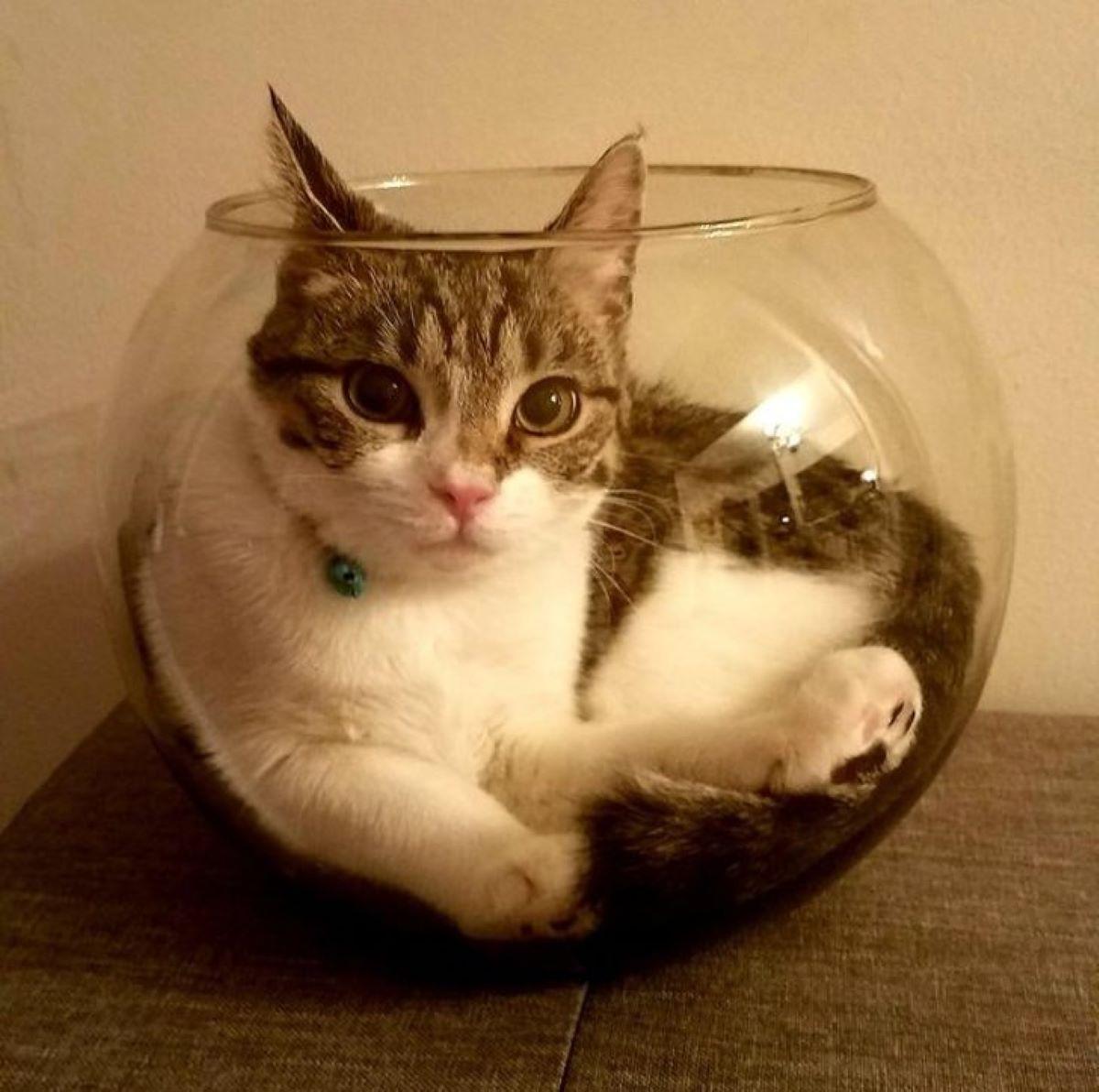 gatto-nella-boccia-dei-pesci