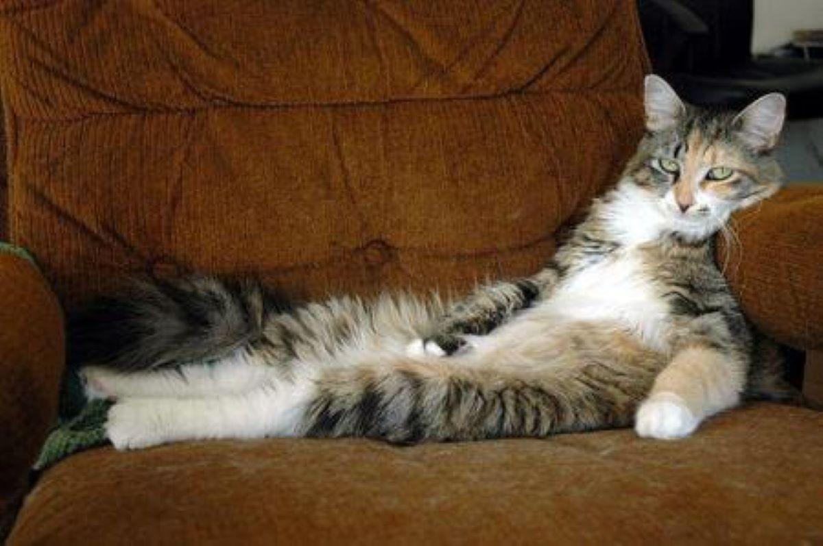 gatto-su-poltrona