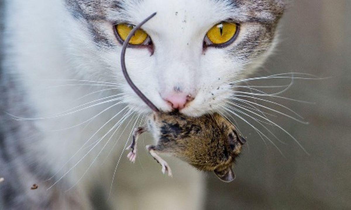 gatto-con-topo-in-bocca