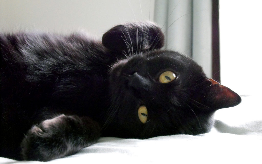 gatto-nero-giocoso