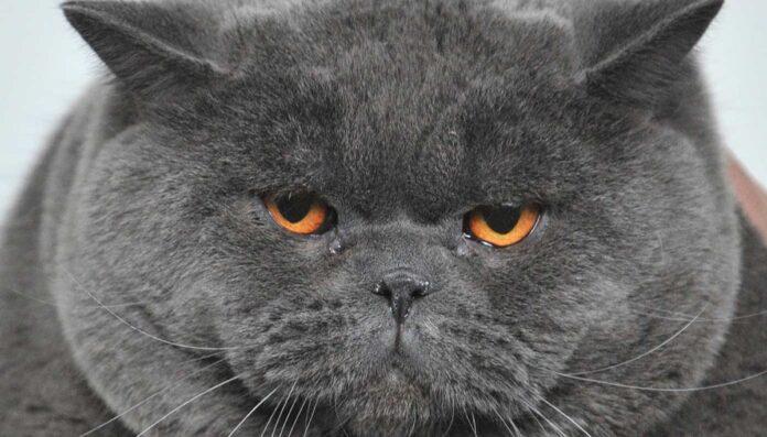 un gatto obeso