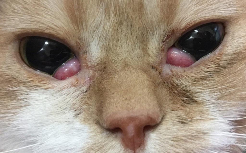 gatto-occhio-a-ciliegia