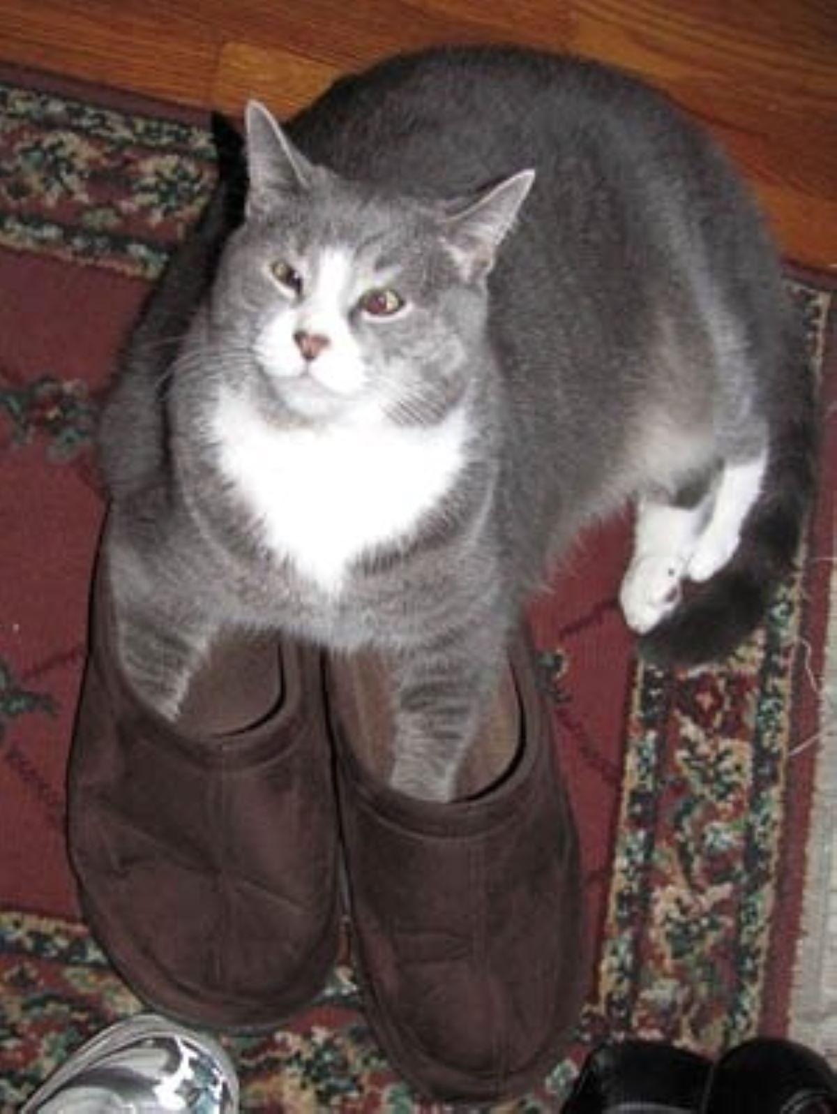 gatto-con-pantofole