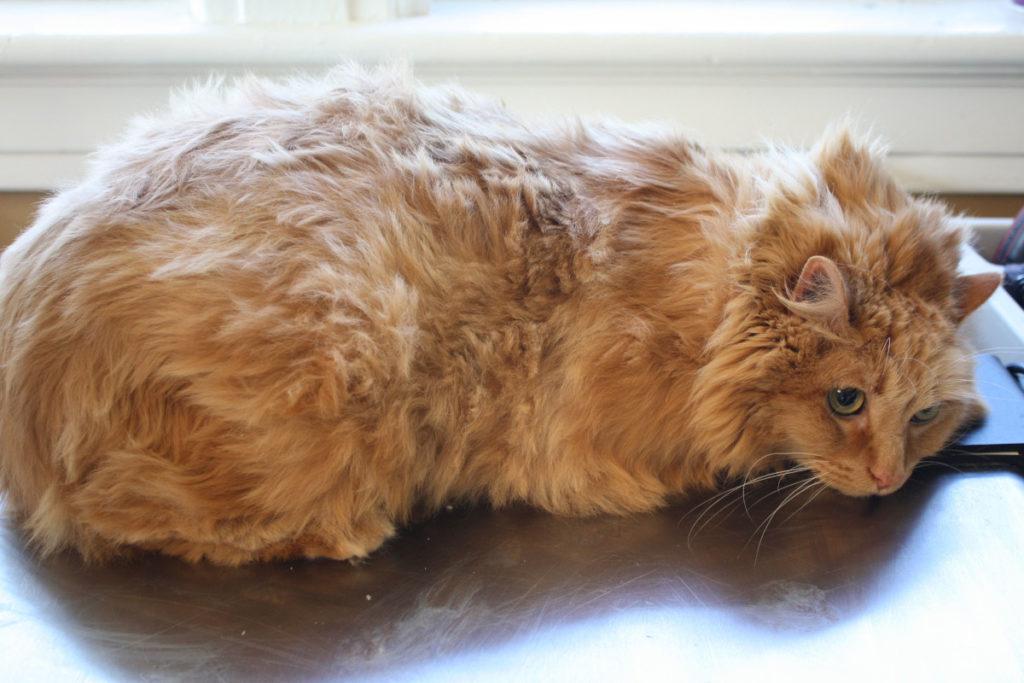 gatto con pelo non curato