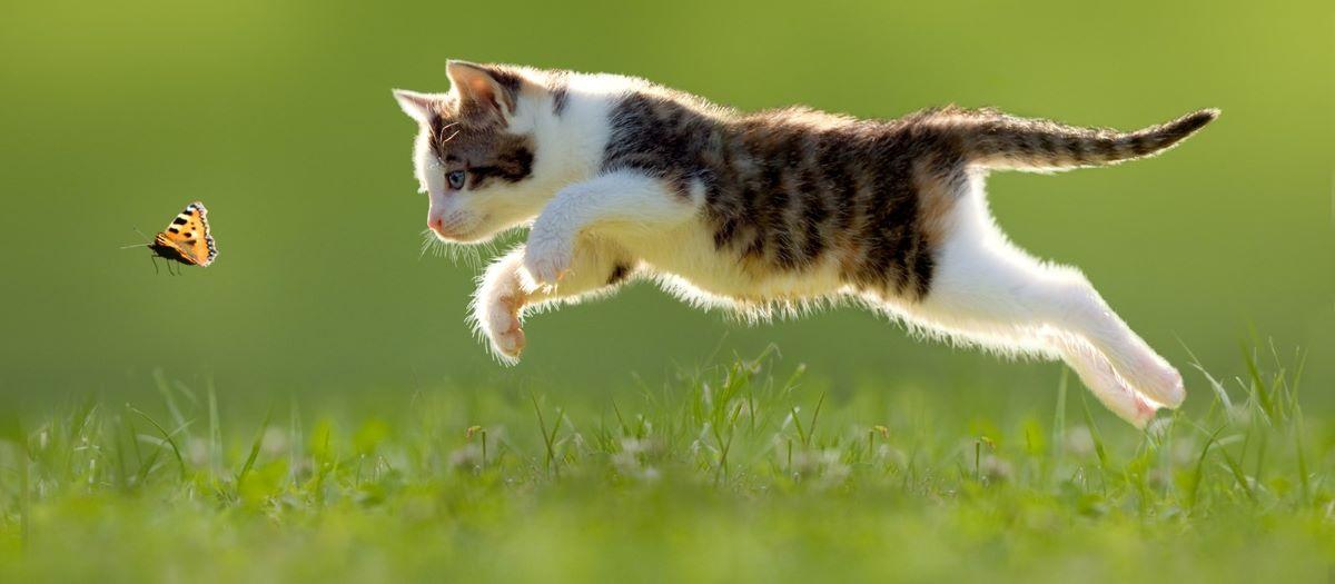 gatto-con-farfalla