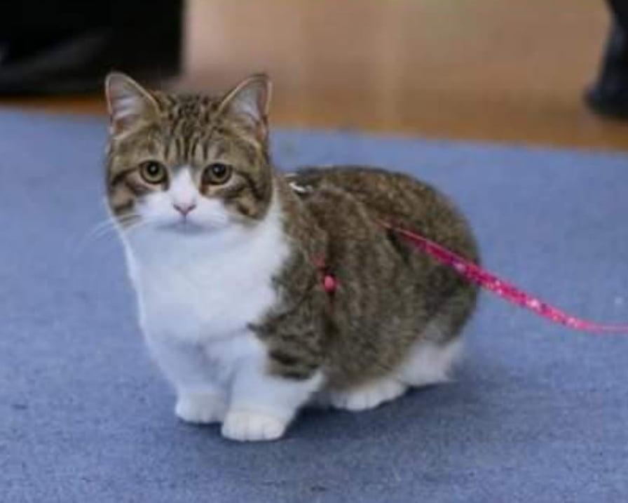 gatto-bassotto