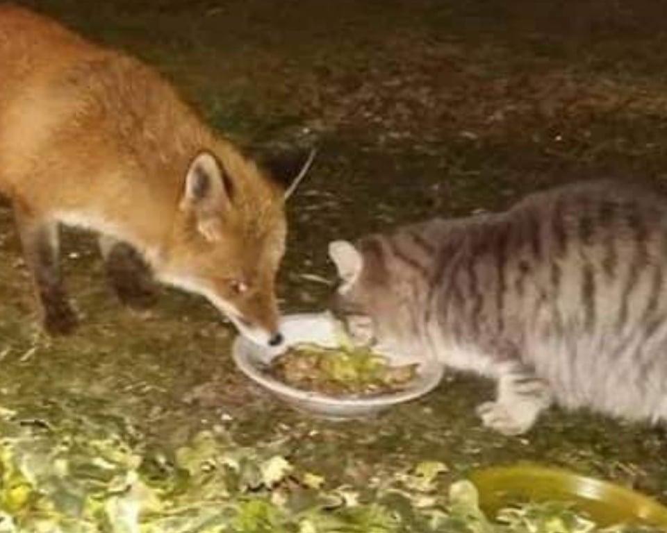 il gatto e la volpe mangiano insieme