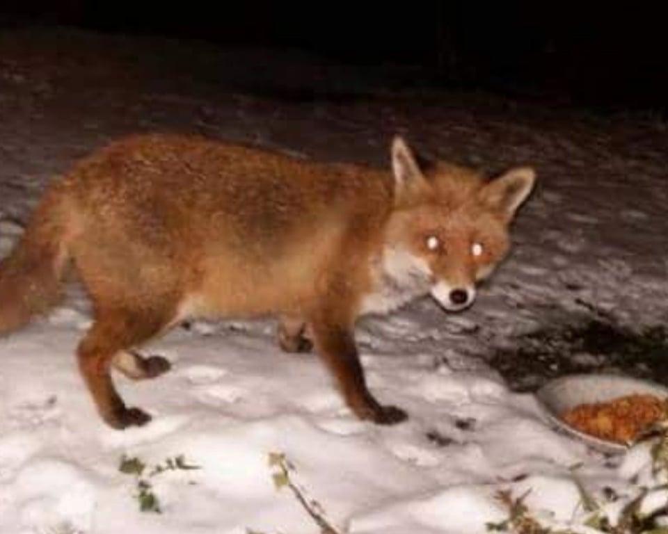 la volpe ospite della villa