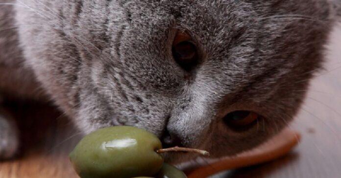 i-gatti-e-la-loro-passione-per-le-olive