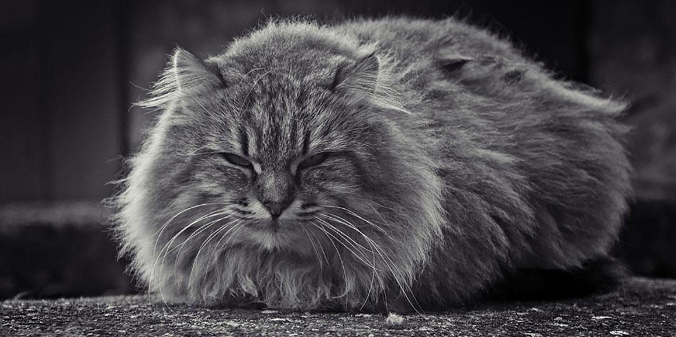 il-gatto-a-pagnotta