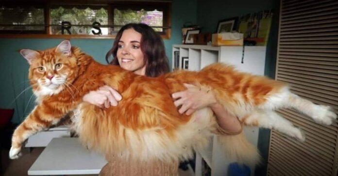 omar il grande gatto australiano
