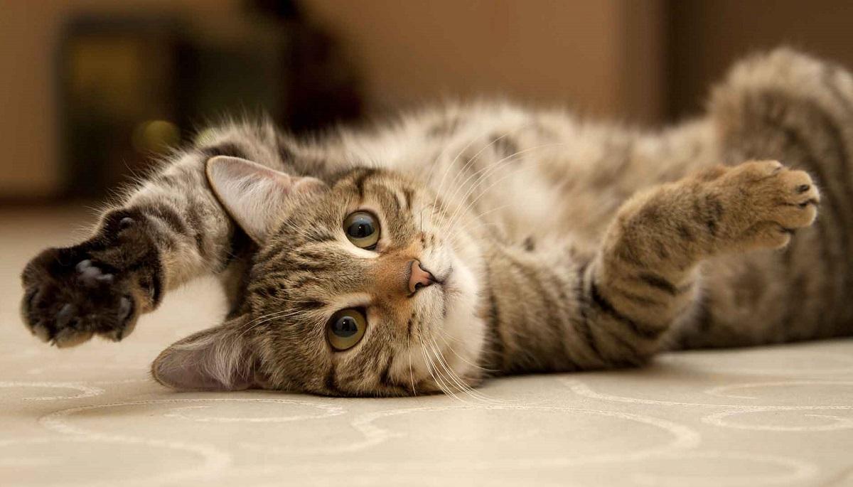 Insufficienza Renale Nel Gatto Tutto Quello Che Cè Da Sapere Il