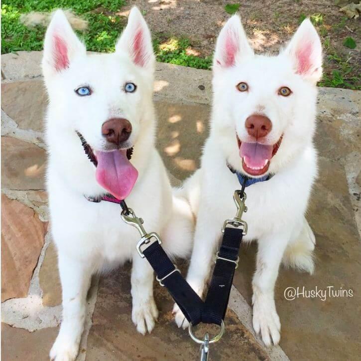husky-con-occhi-diversi