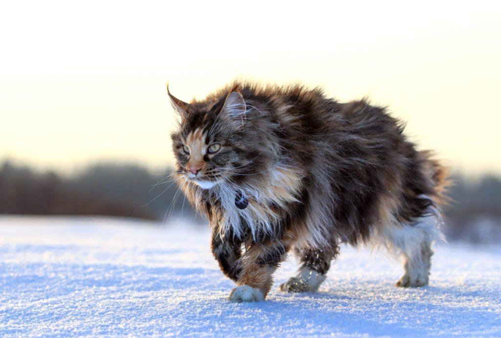 maine-coon-inverni-freddi