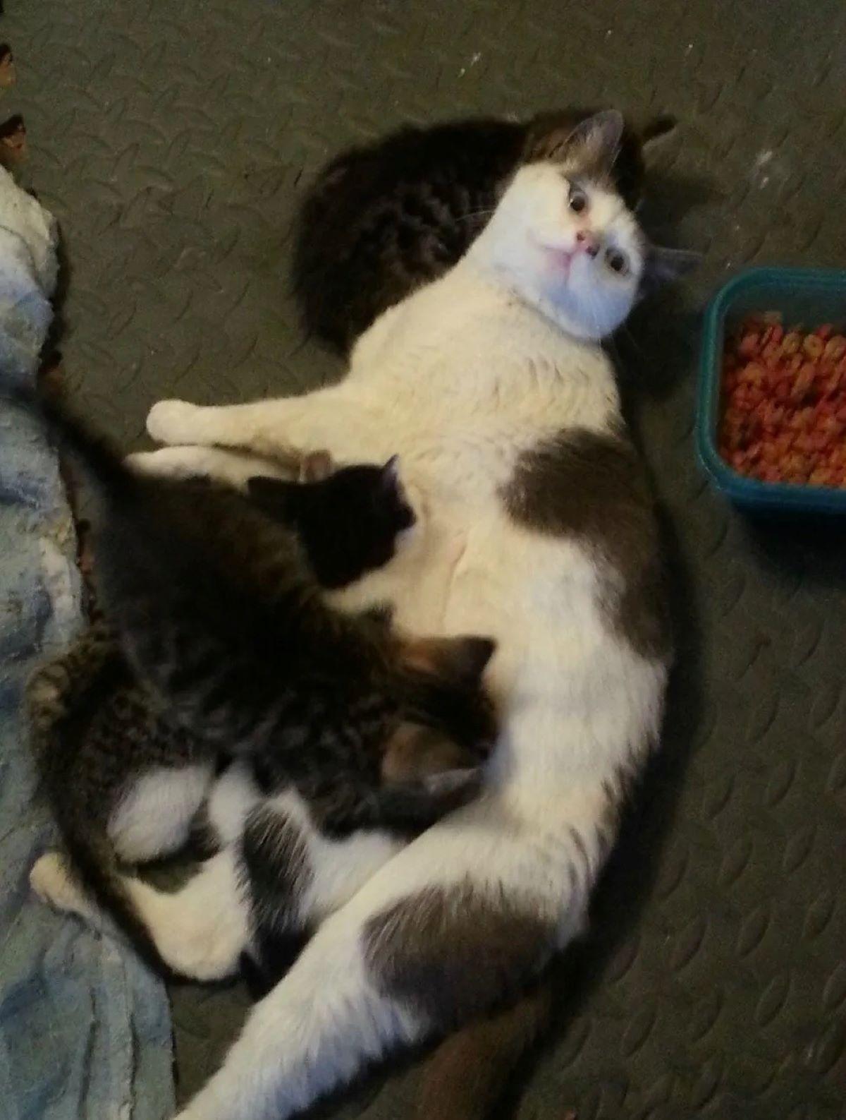gatto-che-allatta