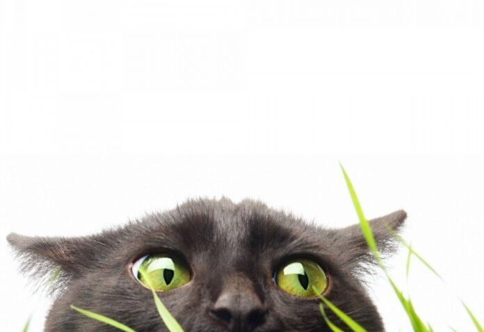 gatto con erba