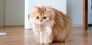 gatto beve da bicchiere