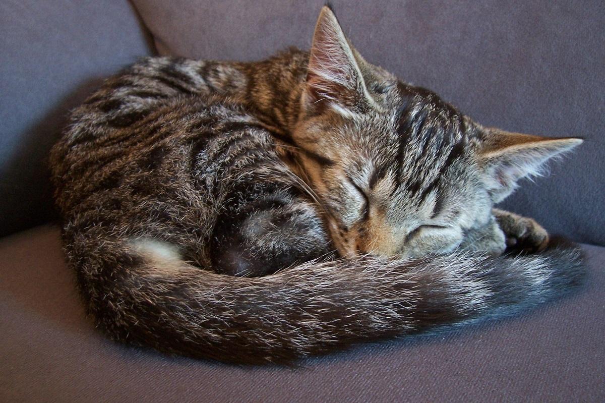 gatto raggomitolato