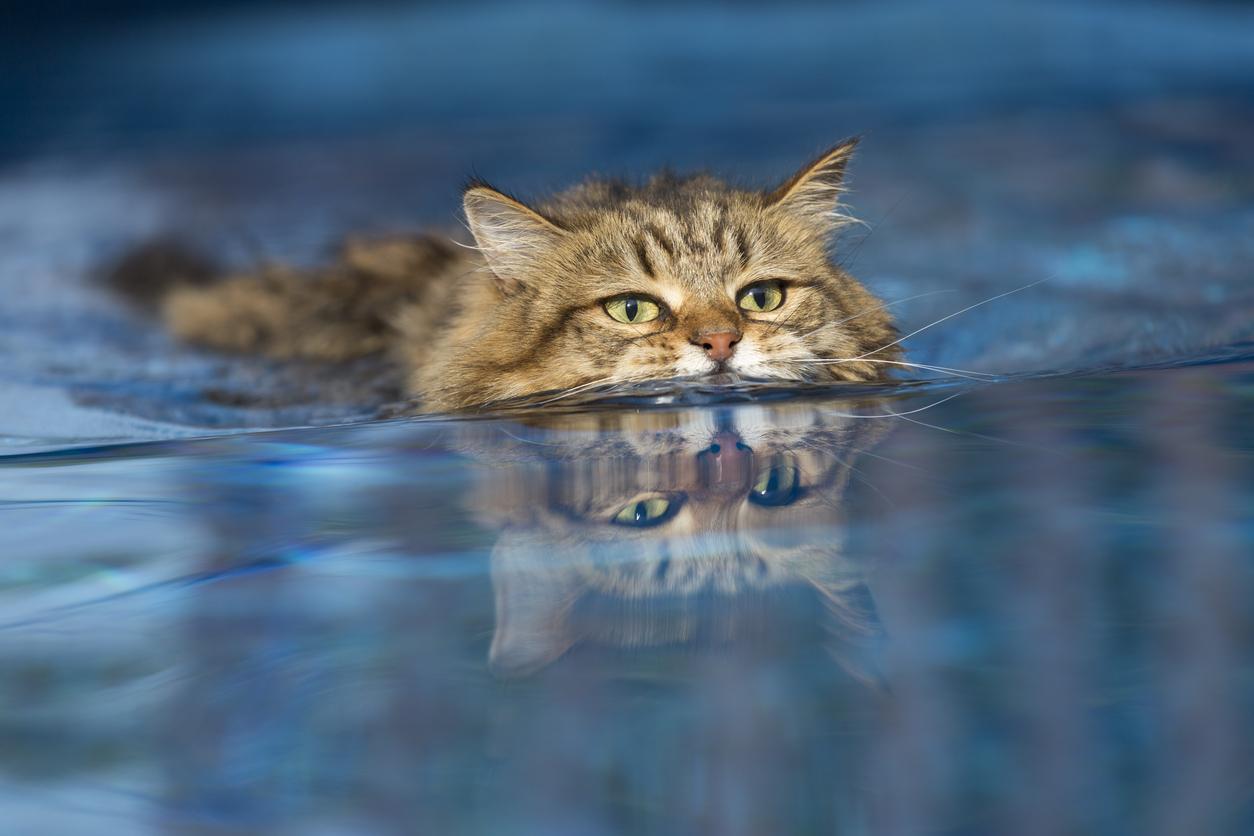 gatto in piscina