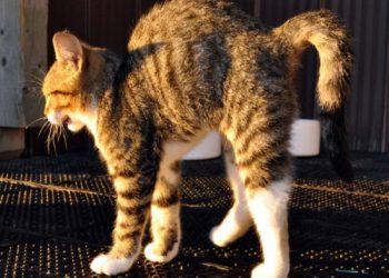 gatto inarca la schiena