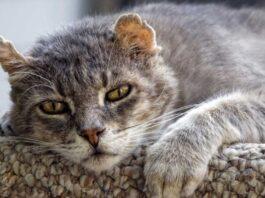 un gatto anziano