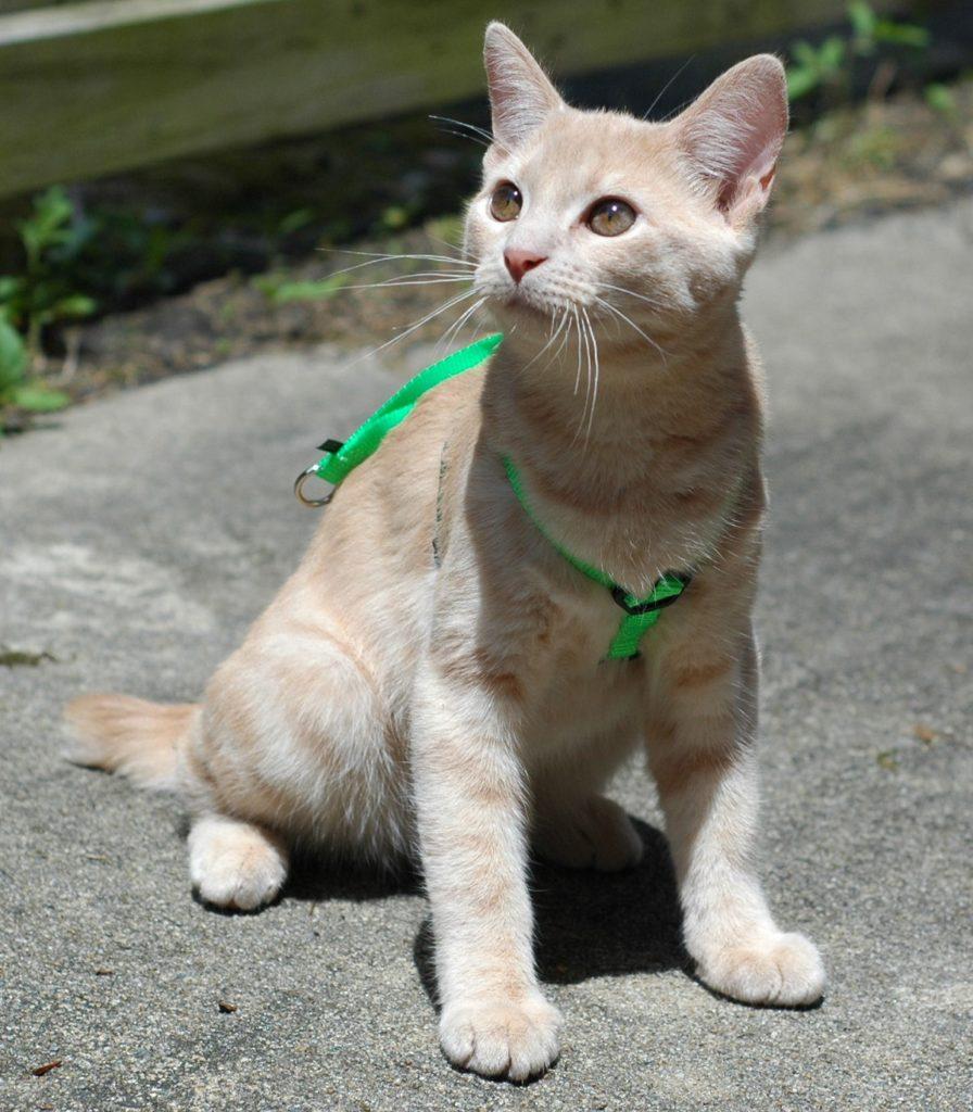 gatto con pettorina verde