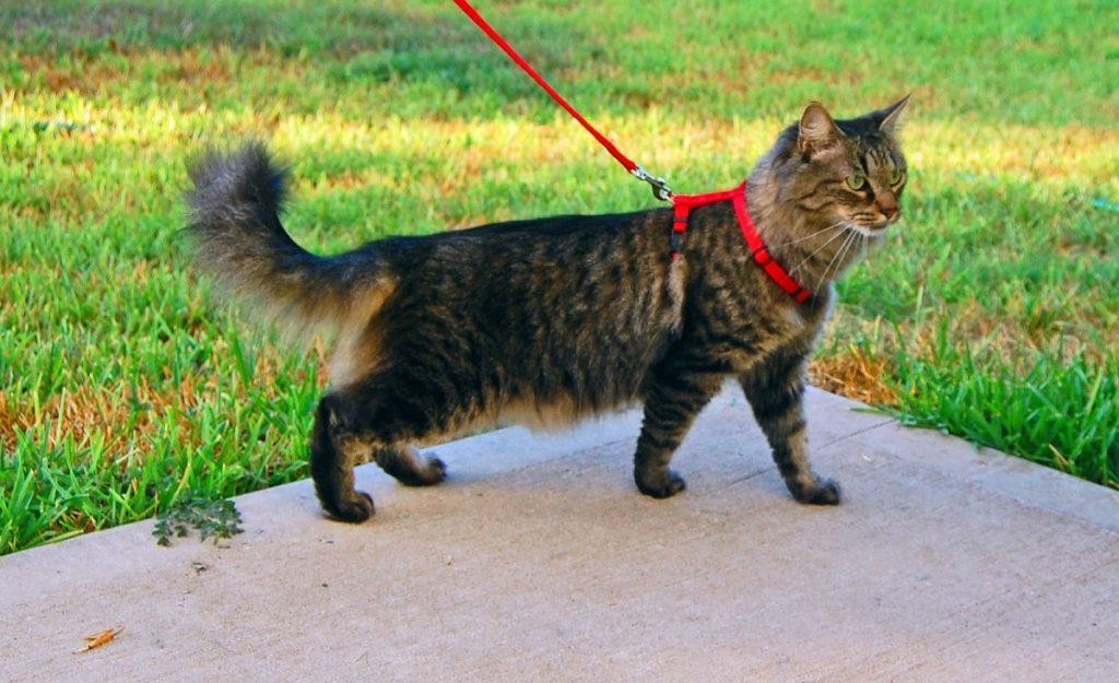 gatto con pettorina rossa