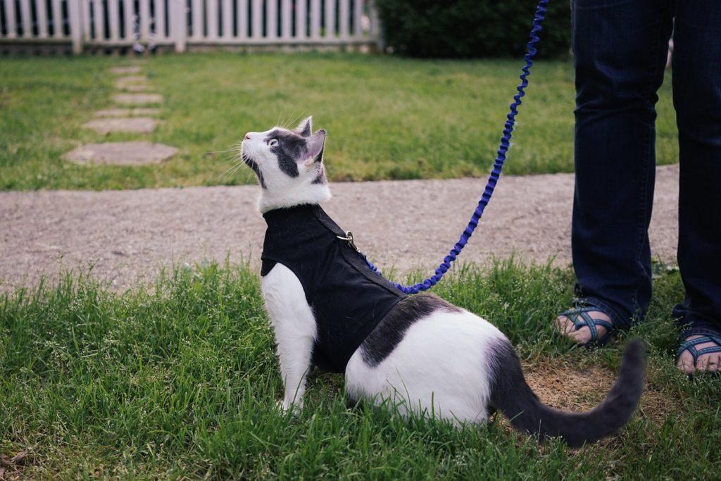 gatto con pettorina a fascia