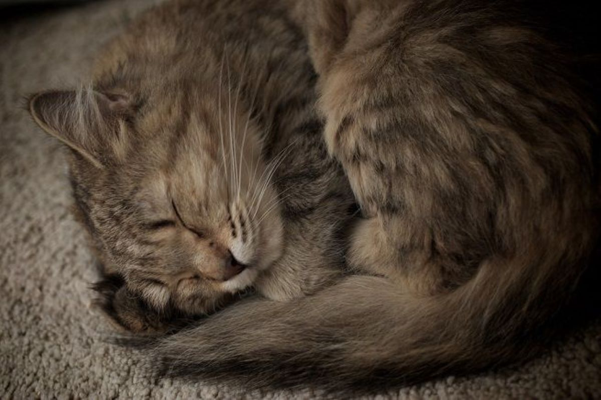 gatto-rannicchiato