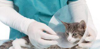 gatta dal veterinario