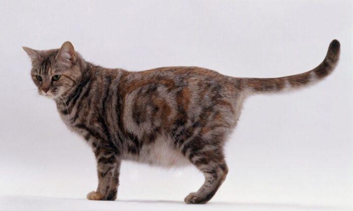 una gatta incinta