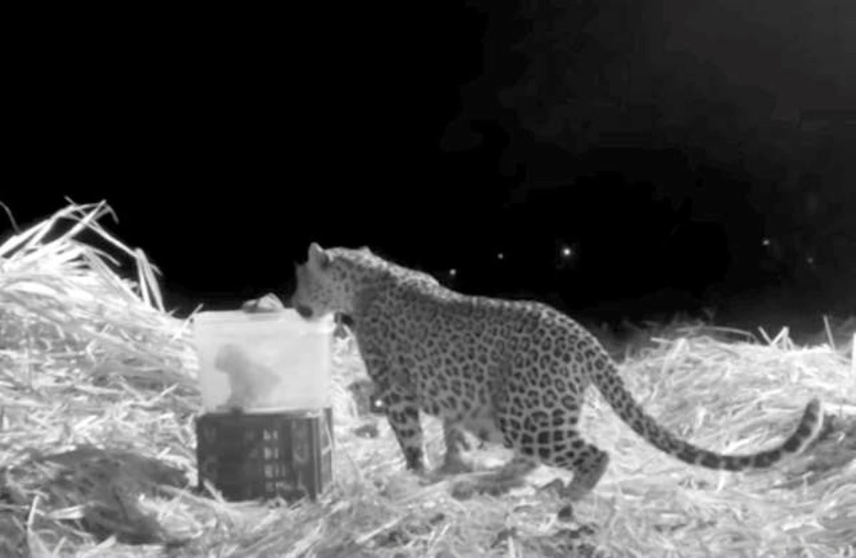 leopardo-salva-cuccioli