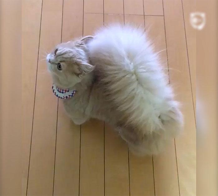 il gatto con la coda folta