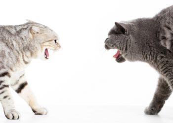 due gatti aggressivi