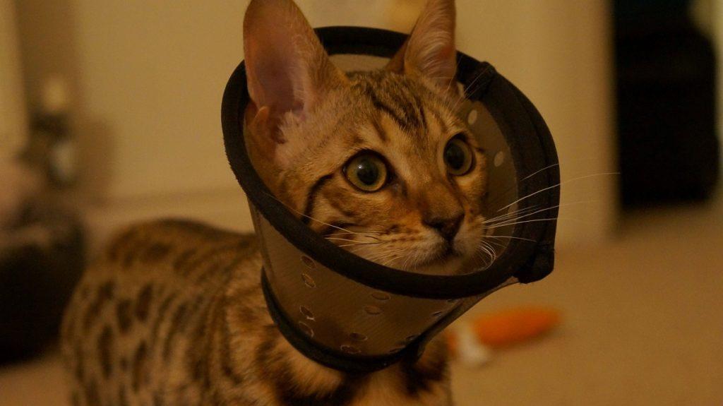 gatto con collare