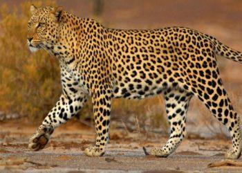 un-gatto-selvatico-predatore-il-leopardo